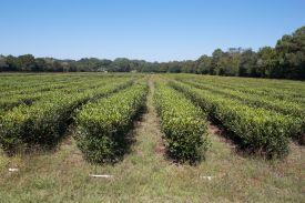 plantationfields4